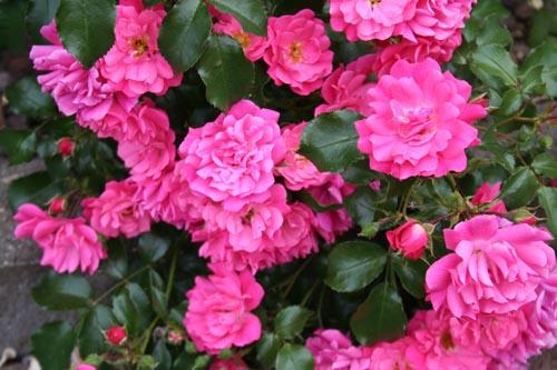 Rosen vor der Schule