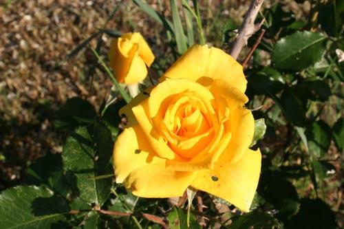 365/2011-gelbe Rose